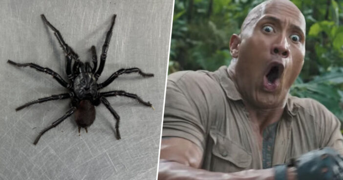 'Biggest Funnel Web' Spider Named Dwayne 'The Rock' Johnson As It's F*cking Massive