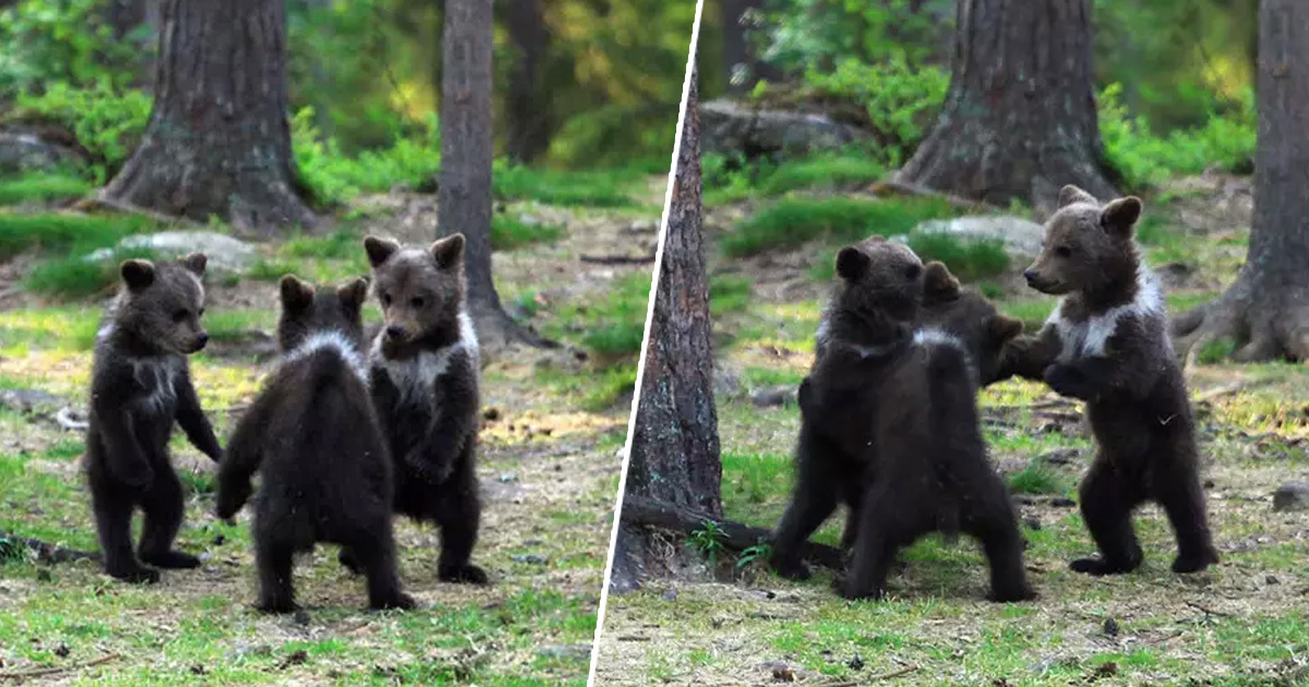 Finnish Photographer Captures Three Bear Cubs 'Dancing' In The Forest