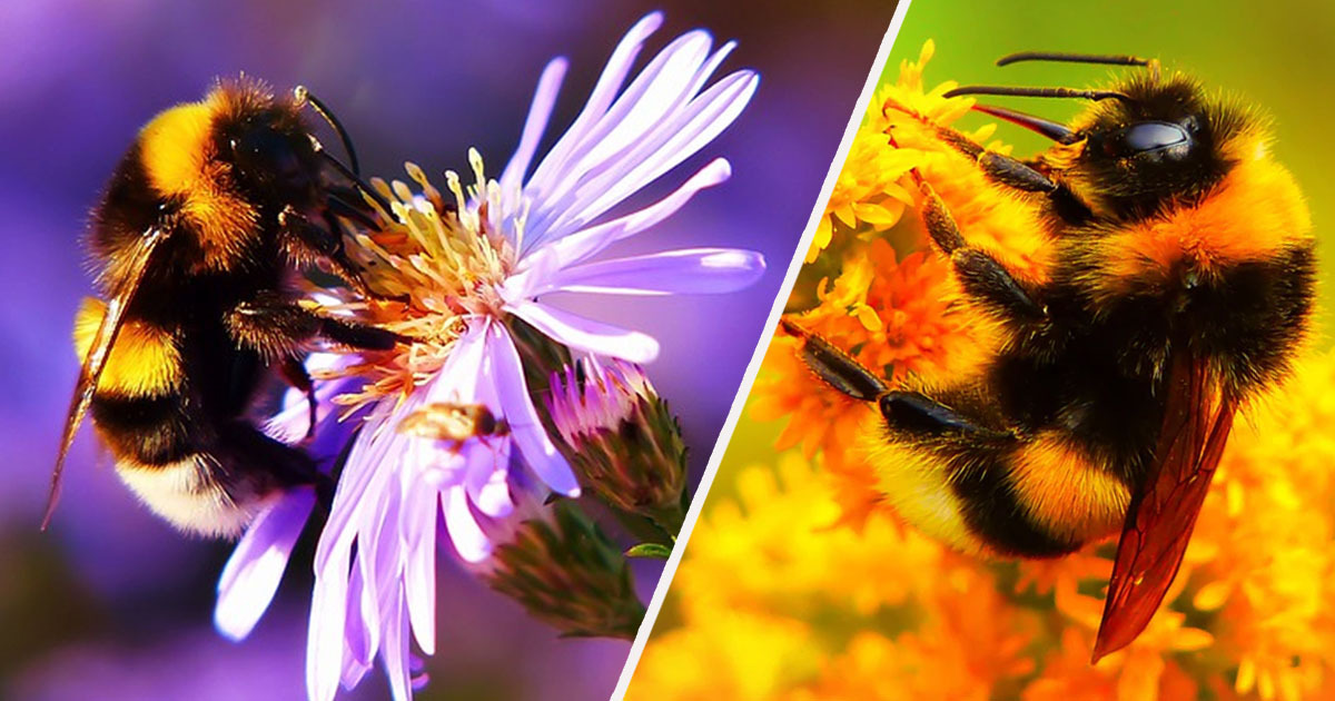 Bumblebee populations declining due to climate change