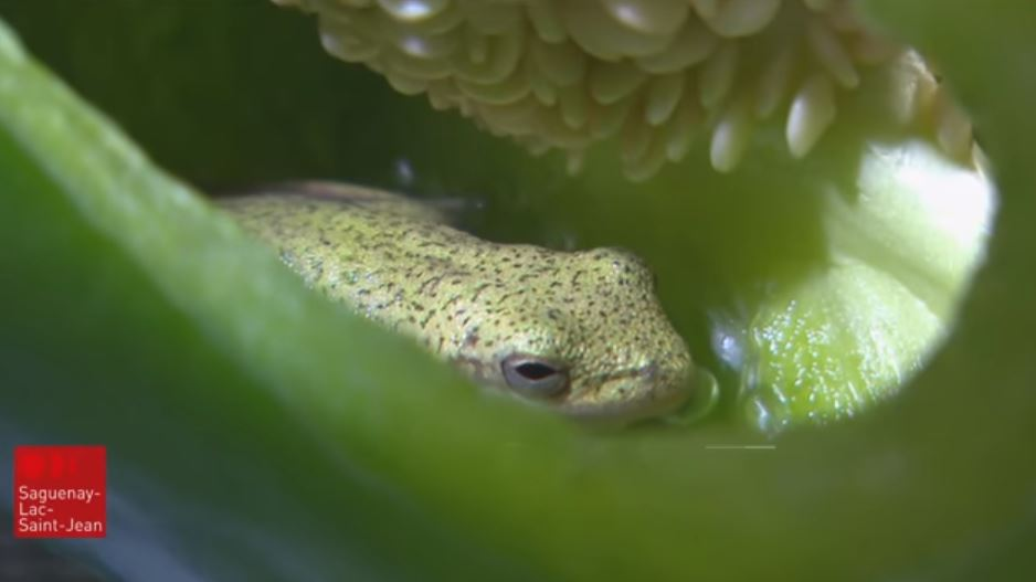 frog inside pepper
