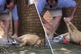 Argentinian Guy Doing Chores Carefully Sweeps Around His Very Lazy Dog