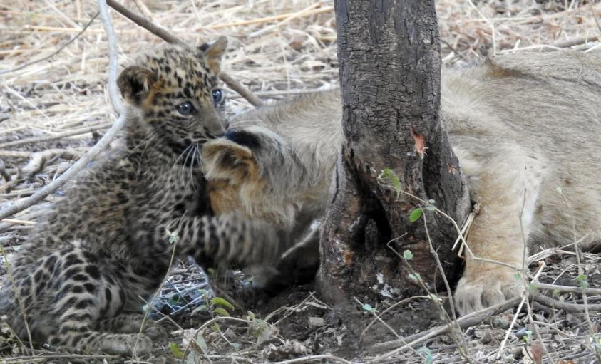 Leopard cub playing with lioness mother