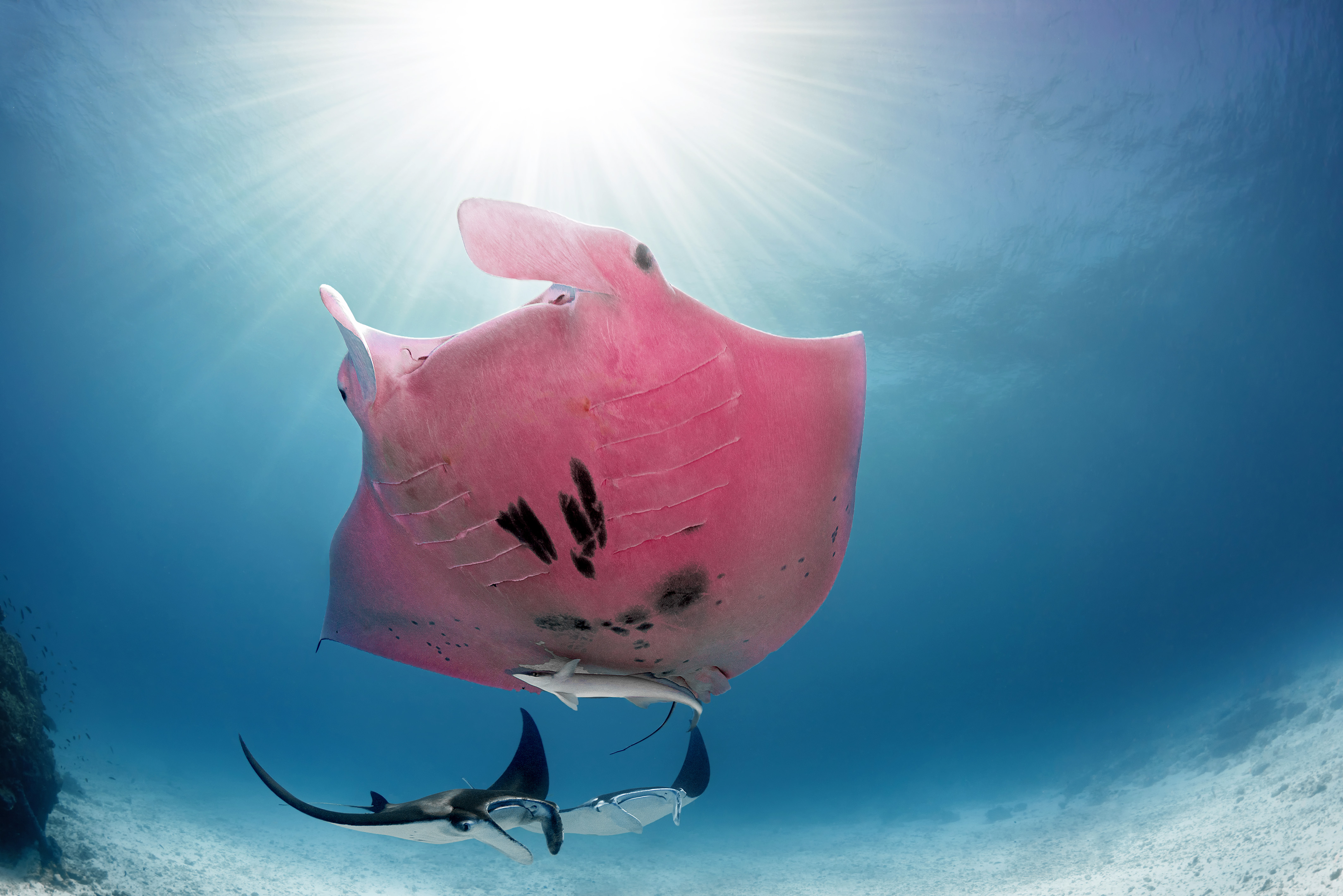 Pink mantra ray