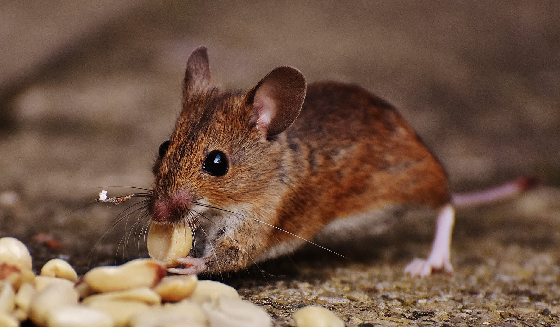 Scientists Successfully Cure Diabetes In Mice Giving Hope To Millions Worldwide