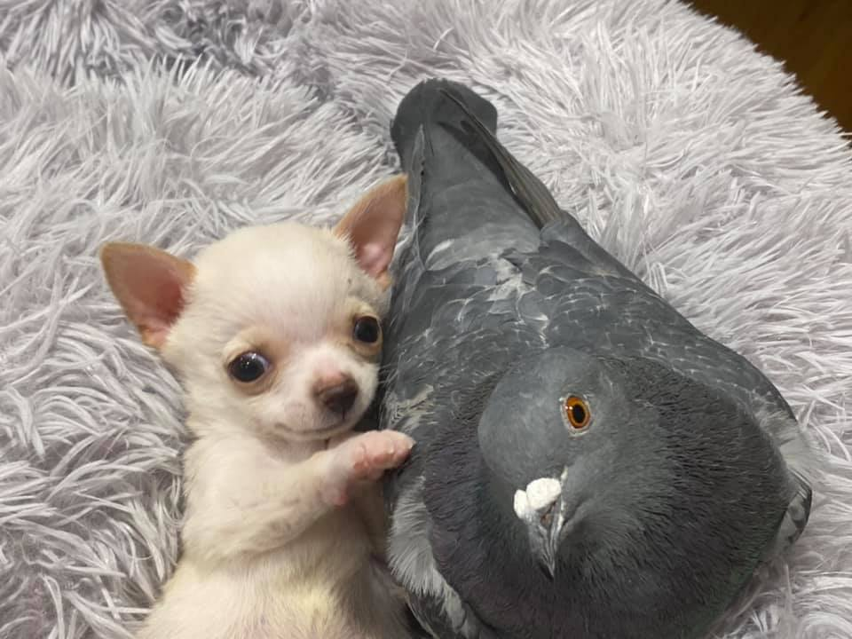 pigeon and puppy