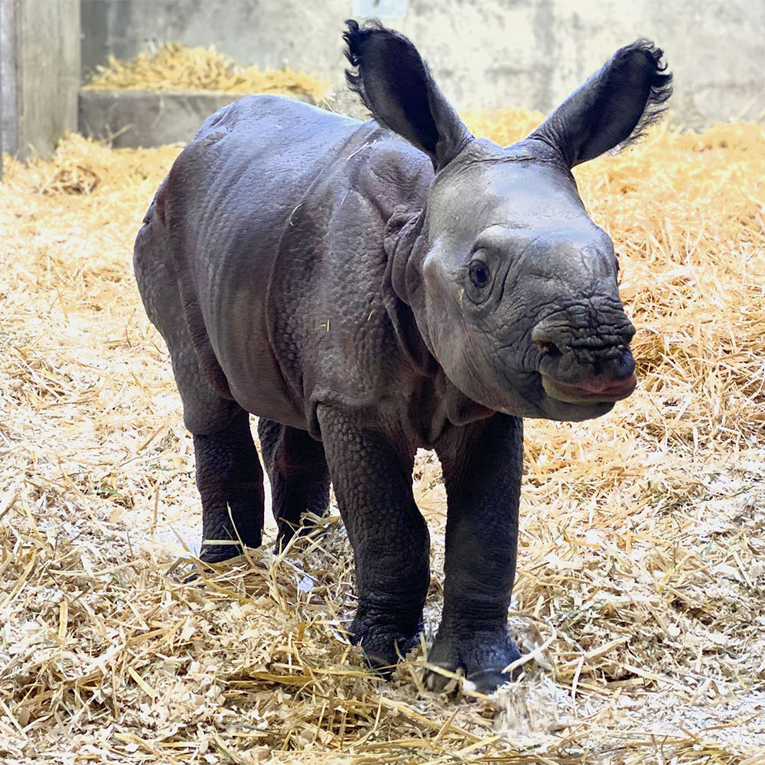 Denver Zoo Welcomes First Baby One-Horned Rhino Who Loves A Nap