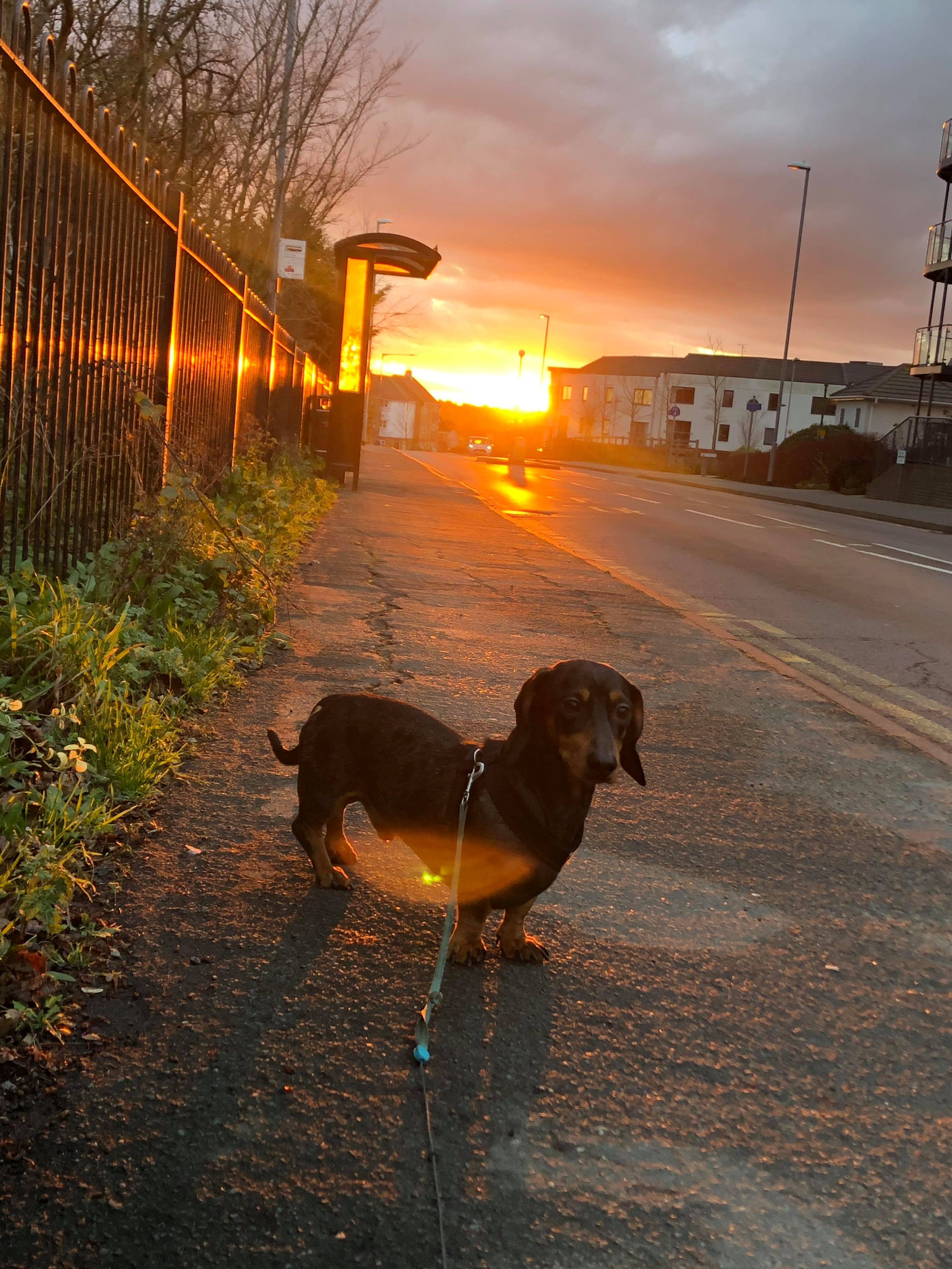 Sausage Dog Sneaks Off And Rides The Bus To The Beach