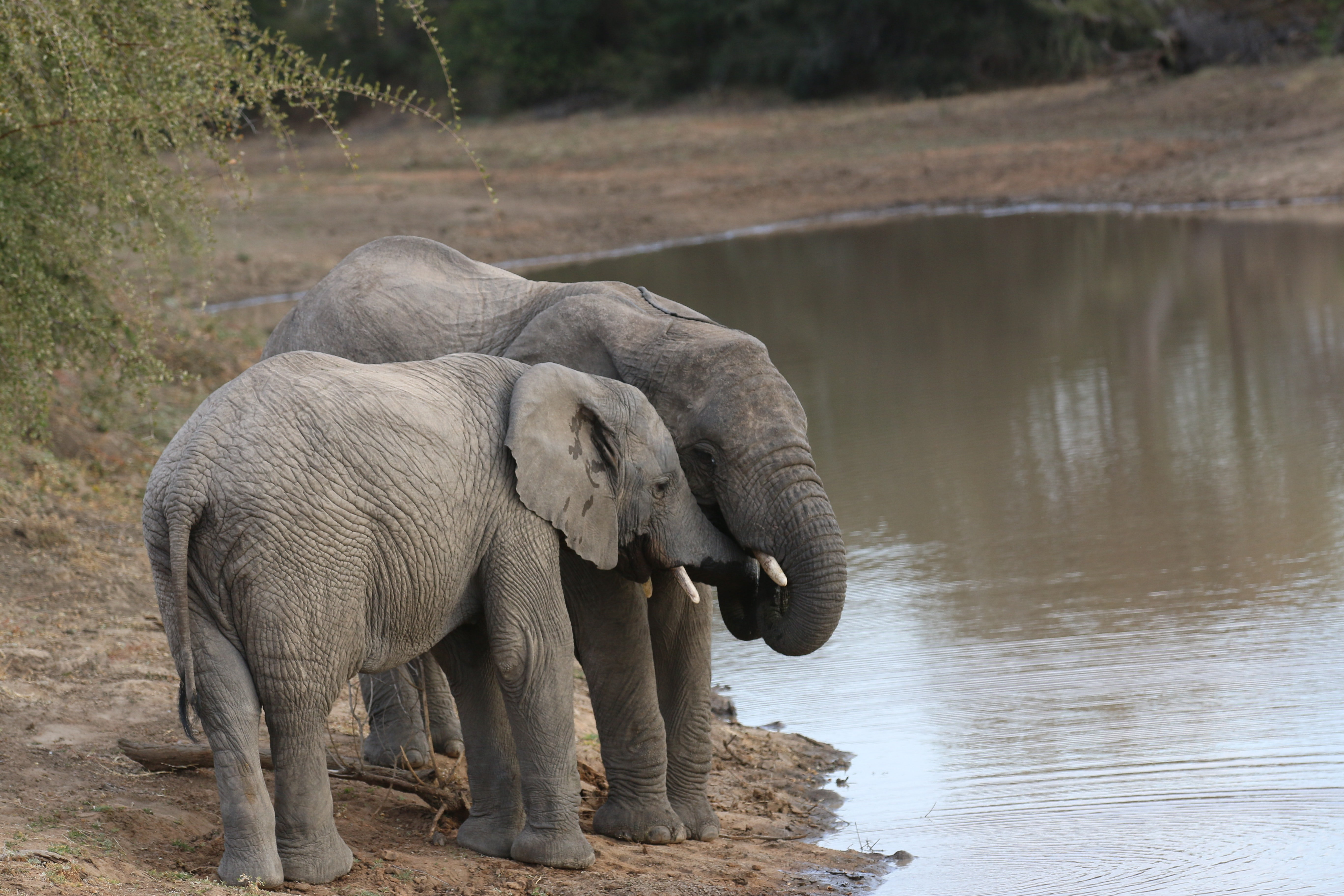 Botswana Sells 60 Elephant Shoot Permits To Trophy Hunters