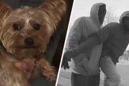 Hero Dog Shot Twice Protecting Young Girl From Armed Robbers Thumbnail