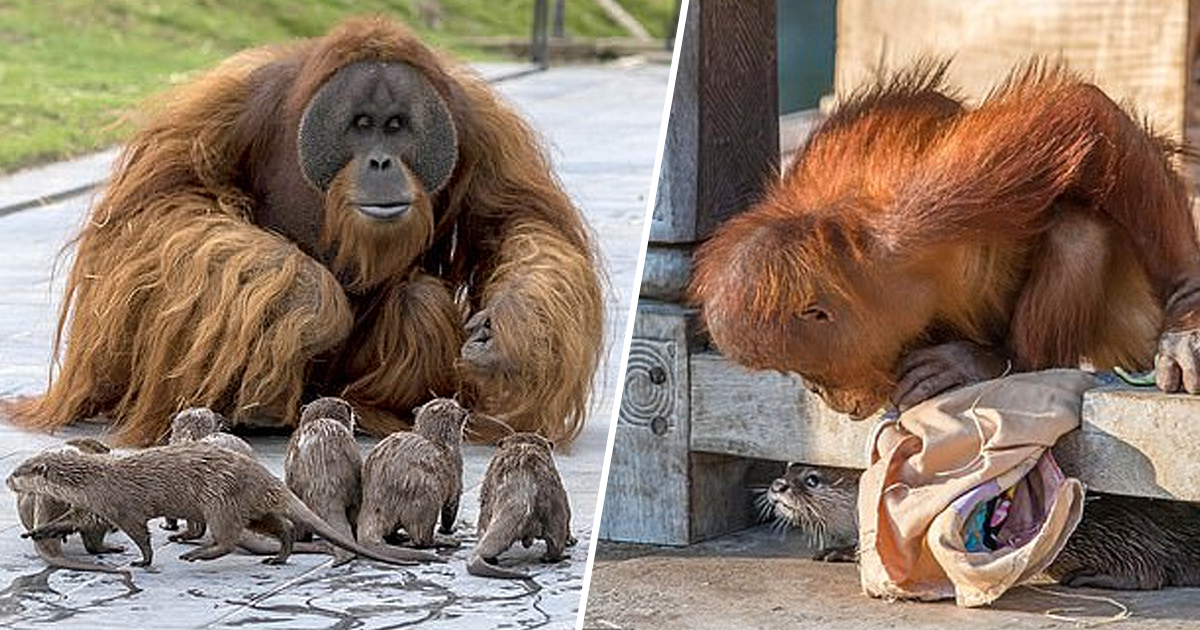 Otters Form 'Very Special Bond' With Orangutan Family Who Share Belgian Zoo Enclosure