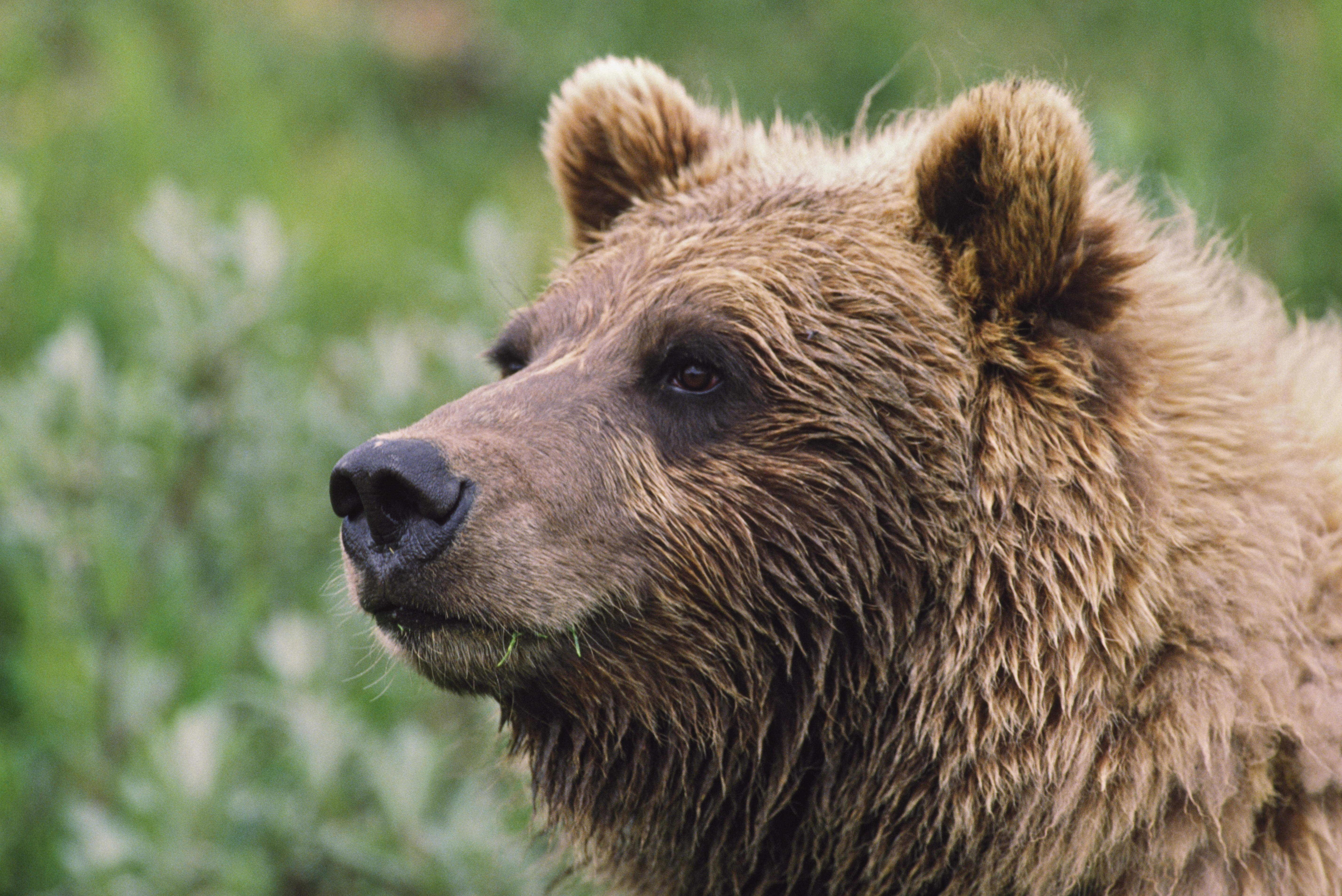Bears Coming Out Of Hibernation Month Early After 'Abnormally' Warm Winter