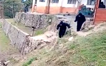 Guards dress as bears to scare off monkeys