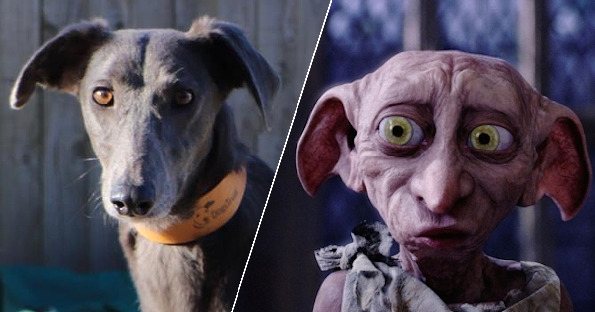 Lonely Dog Who Looks Just Like Dobby Hoping To Find Forever Home