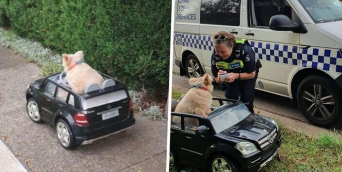 Deaf And Blind Dog Stopped By Police In Australia While Driving Around In Tiny Car