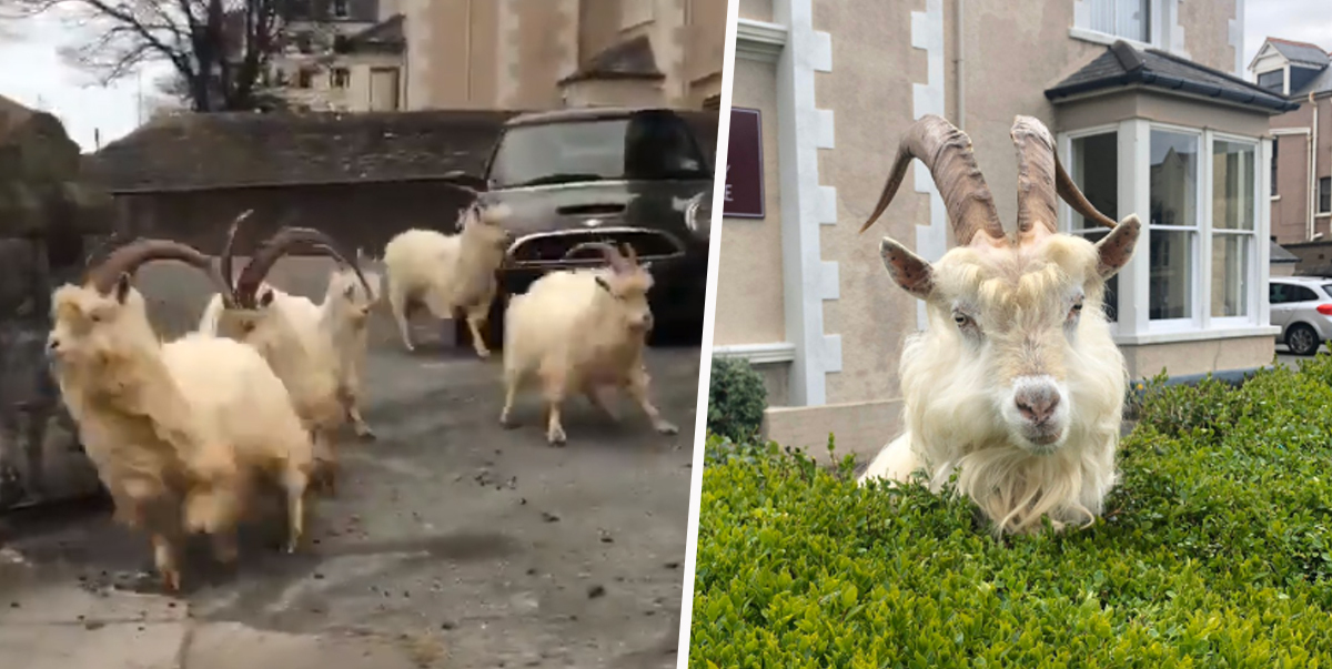 North Wales Police Chase Herd Of Goats Taking Over Llandudno During Isolation
