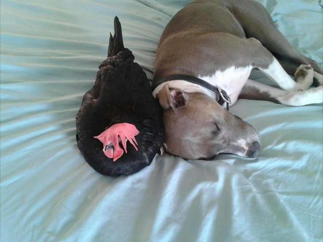 Pit Bull And Blind Chicken Who Do Everything Together Are Best Friends