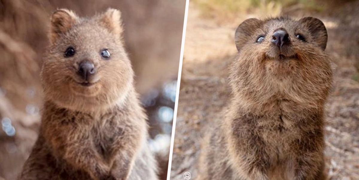 Quokkas Are So Cute People Can't Believe They're Real - UNILAD