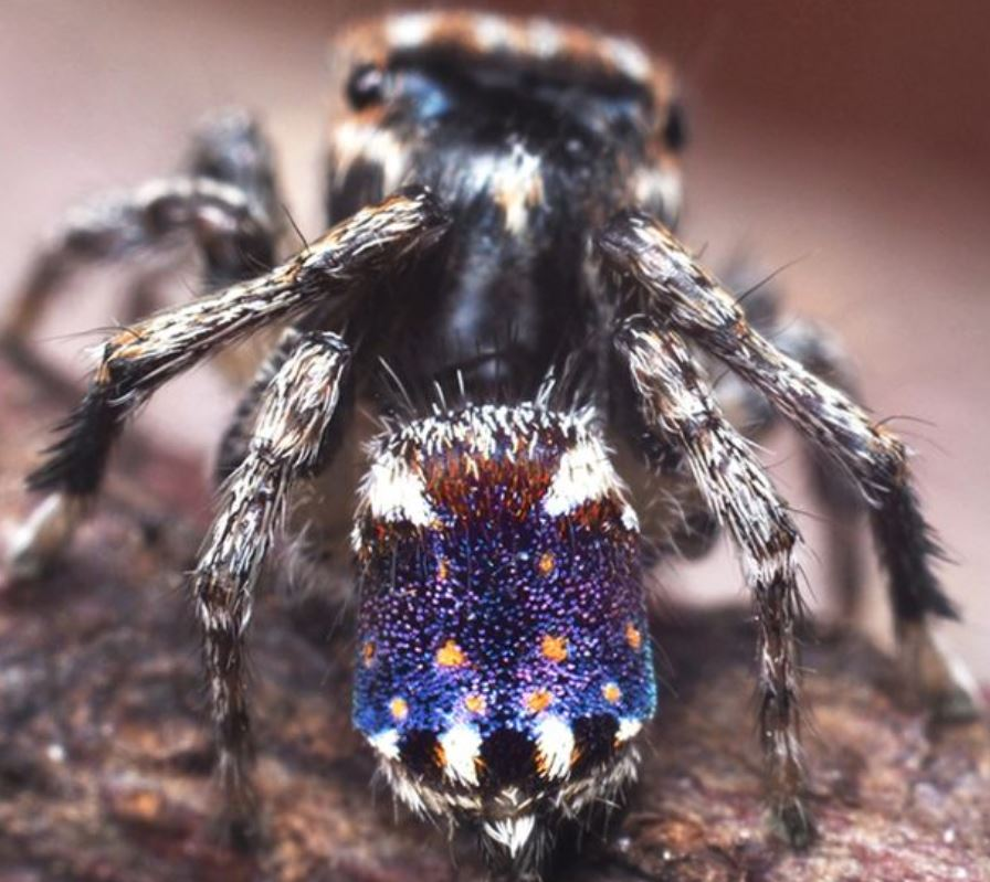 New species of Peacock Spider discovered