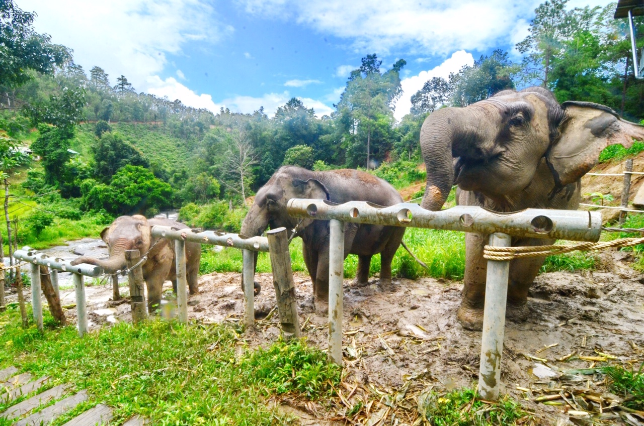 Elephants starving in Thailand