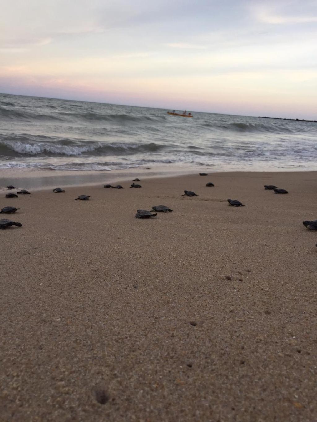 Endangered seat turtles making their way to the ocean