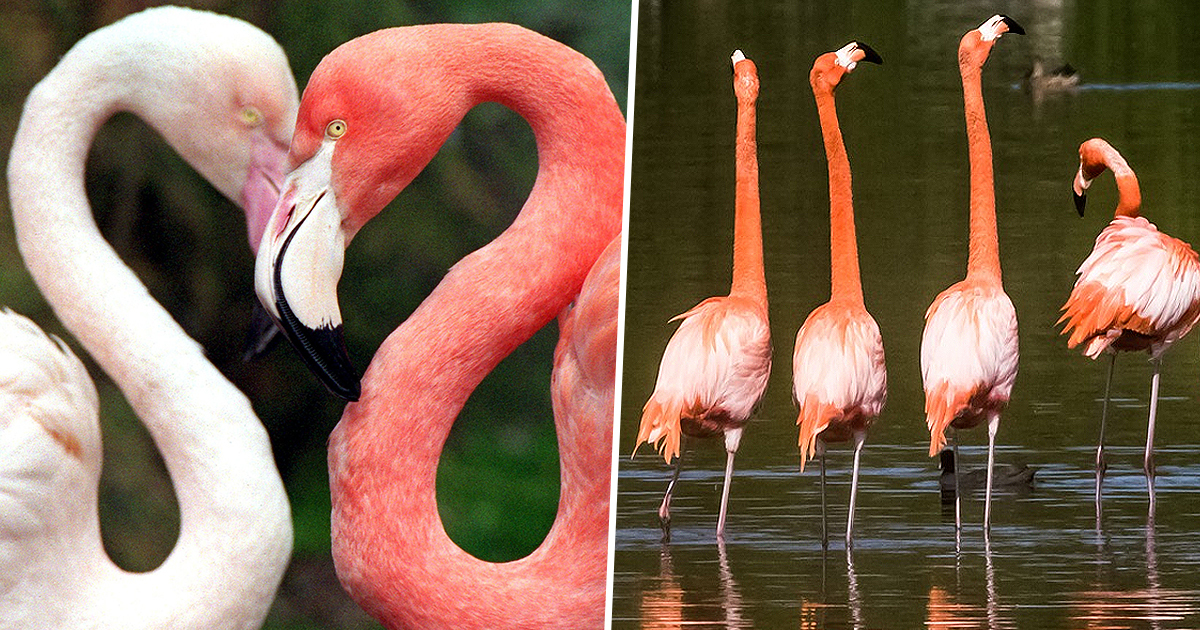 Flamingos Make Friends For Life Just Like Humans