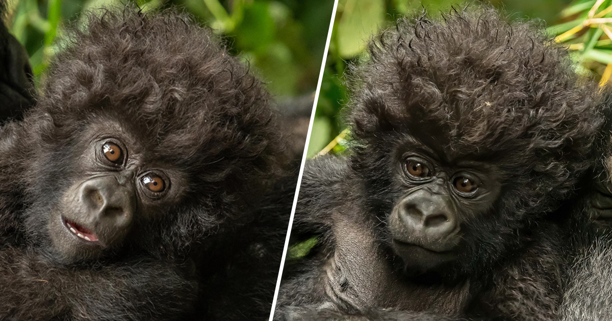 Little Curly-Haired Baby Gorilla Shares Incredible Moment With Photographer