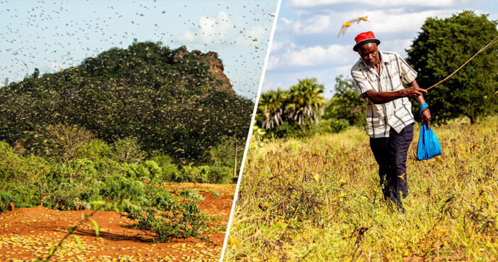 Second Wave Of Locusts Expected To Ravage East Africa In Swarms As Big As Moscow