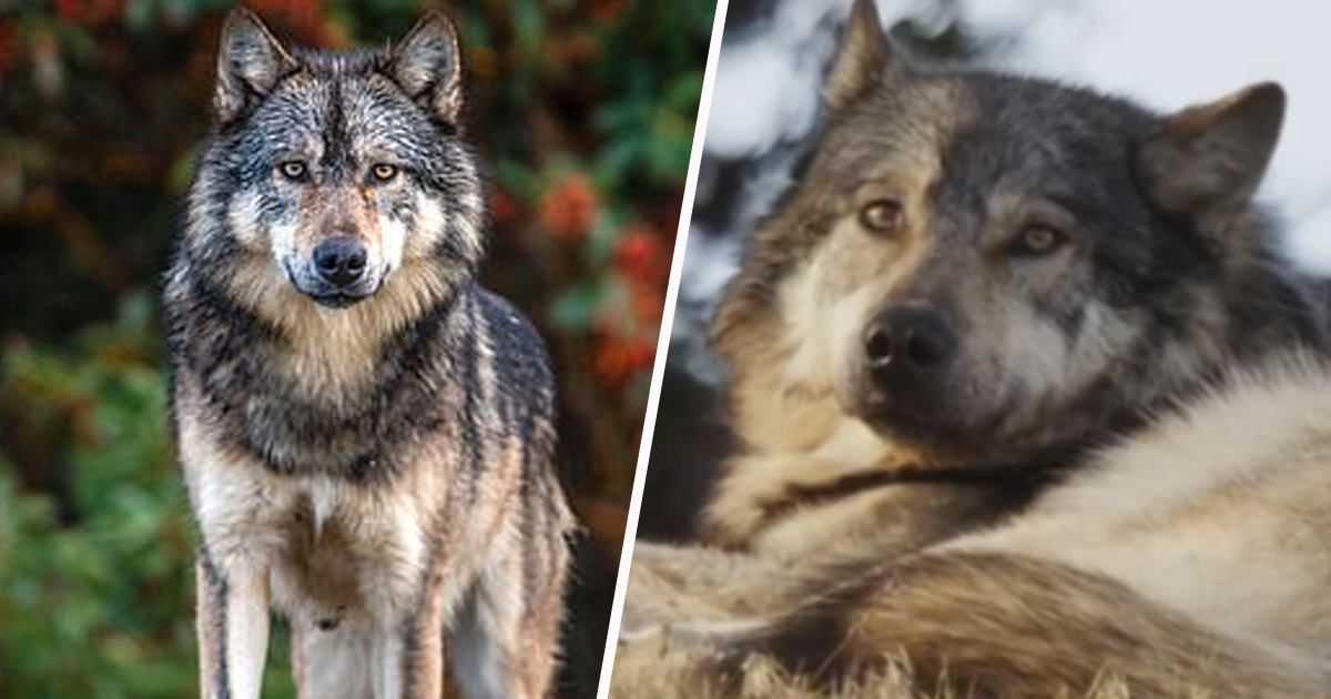 Beloved Lone Wolf From BBC Documentary Killed By Hunter