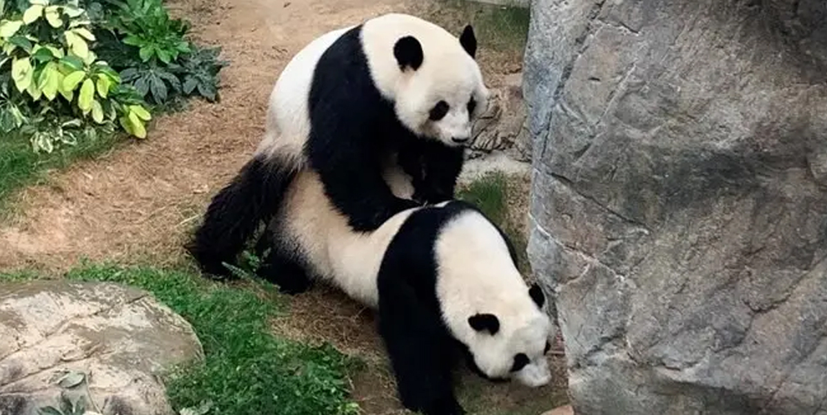 Giant Pandas Mate For First Time In Empty Hong Kong Zoo After 10 Years Together