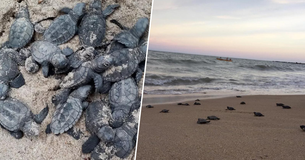 Endangered Turtles Hatch On Beach Deserted Due To Covid-19