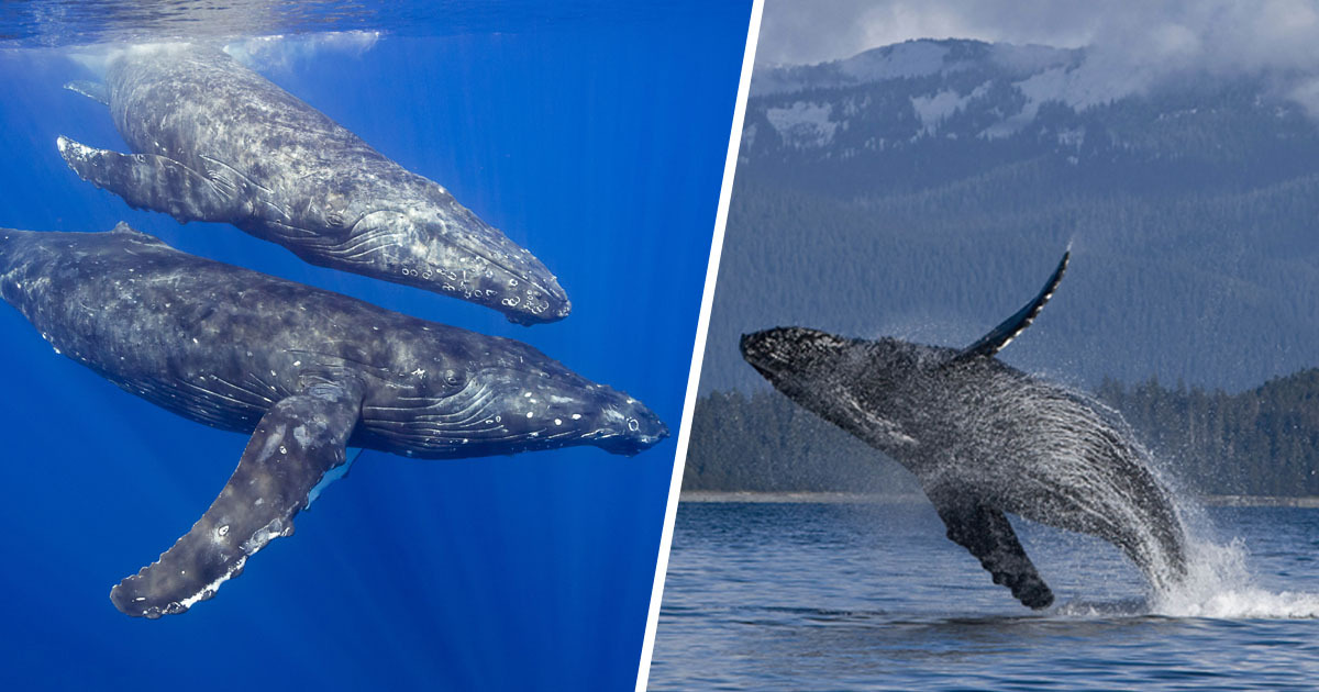 Whales Get Opportunity To Chat Now Oceans Are Quieter Due To Quarantine
