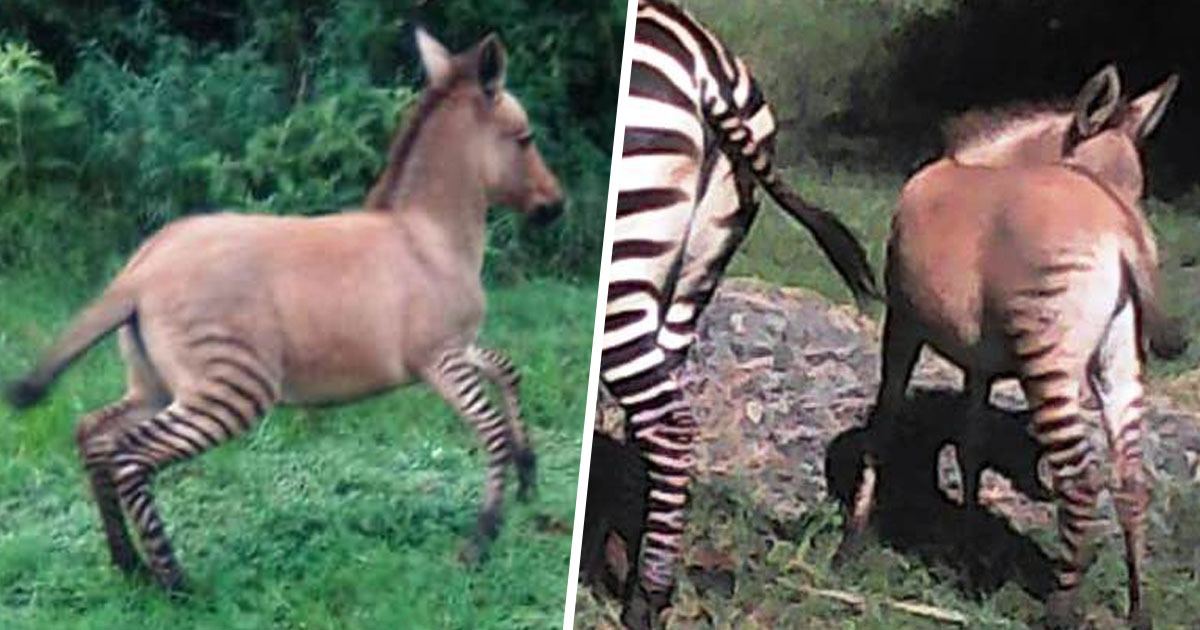 Zebra Gives Birth To Rare Baby Zonkey After Mating With A Donkey