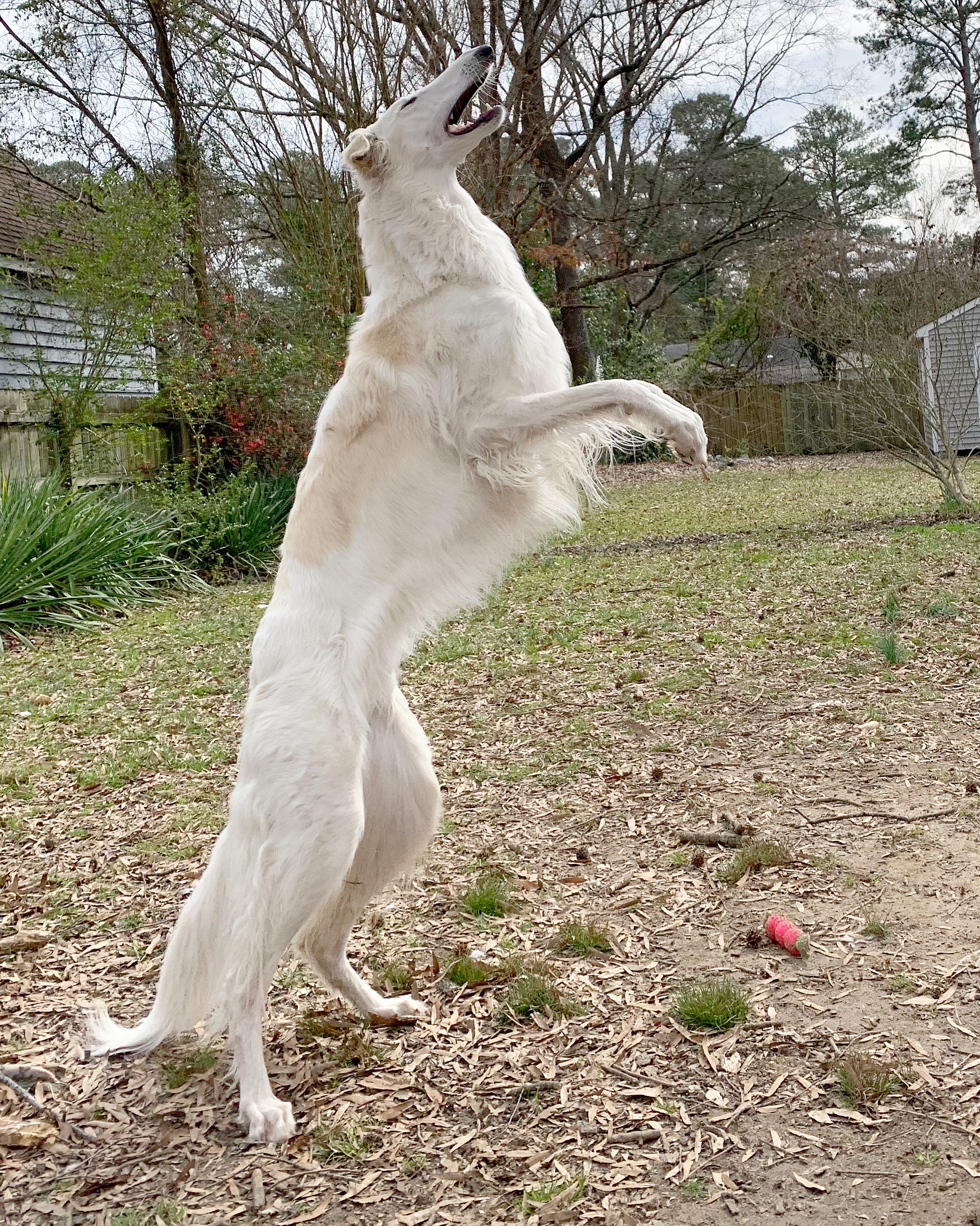 Dog with long nose stands on its hind legs
