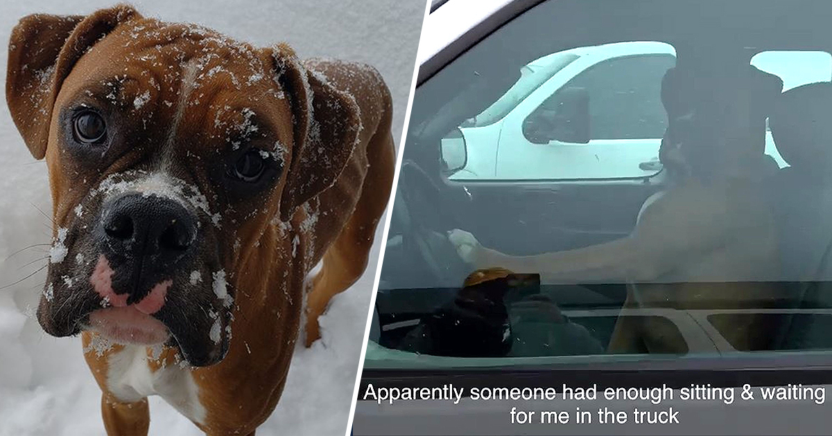 Impatient Boxer Has Learned To Honk Car Horn When Owner's Been Too Long In The Shops