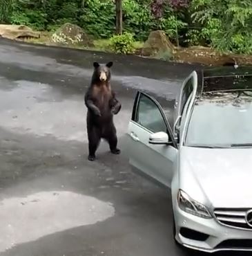 Bear looks confused as friends scream at it
