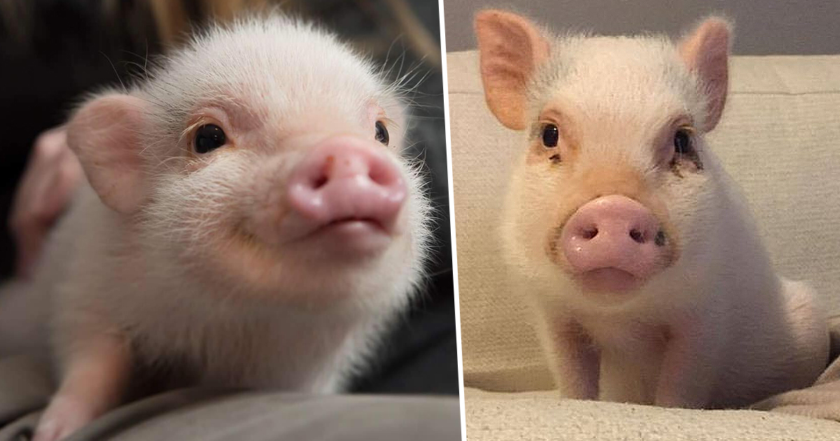 Hank, The Mini Pig And Famous Best Friend, Dies Aged Just Three