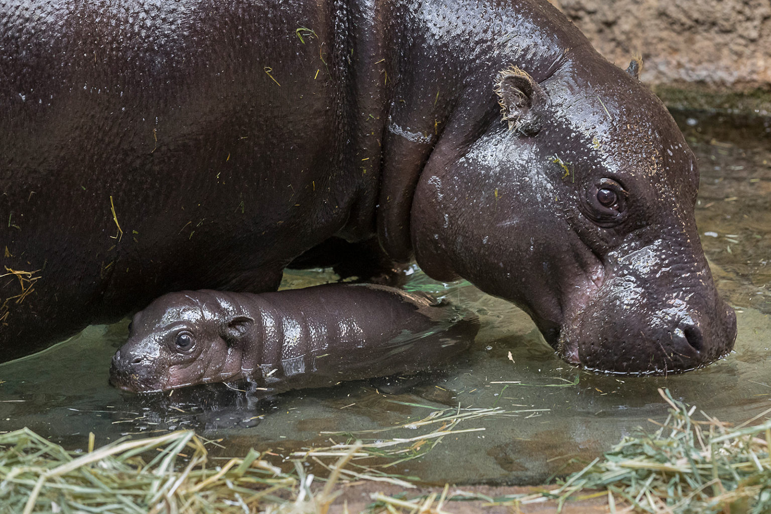First Endangered Pygmy Hippo Born At San Diego Zoo In 30 Years