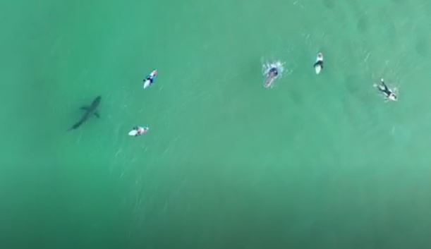 drone captures great white below surfers