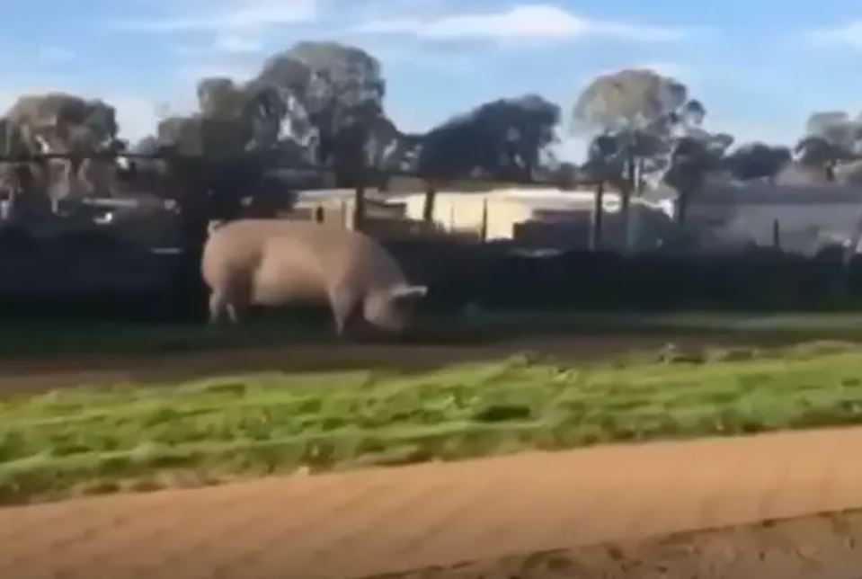 huge pig escapes from pen