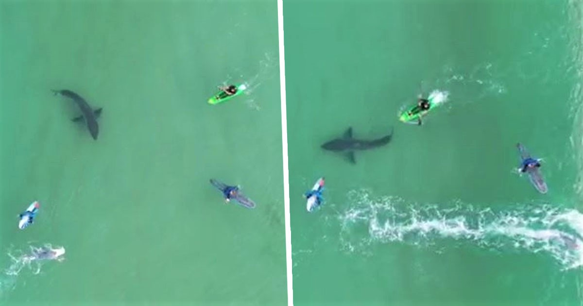 Boy Flying Drone Over Surfers Captures Great White Shark Lurking Beneath