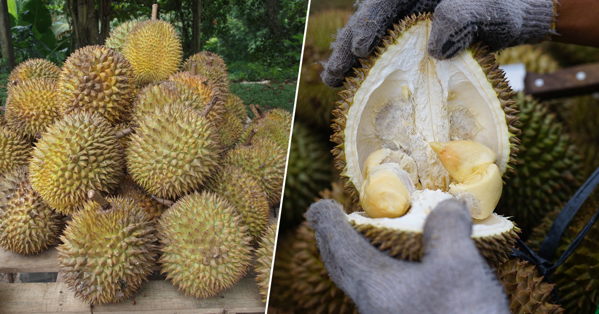Smelly Durian Fruit Causes Evacuation And Sends Six Workers To Hospital In Bavaria