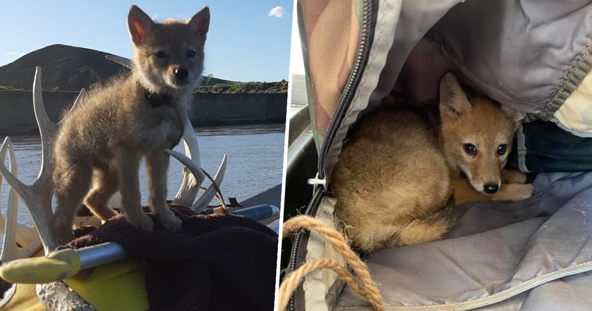 Man Saves Drowning Coyote Pup, Takes On 10-Day Rafting Trip