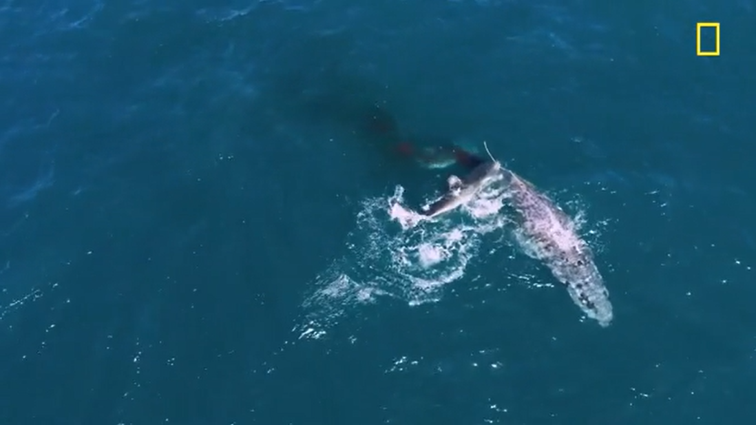 Shark Attacking Humpback Whale