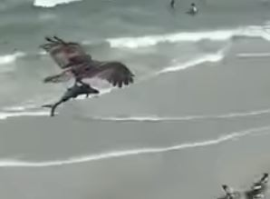 Huge bird carries fish over Mrytle Beach
