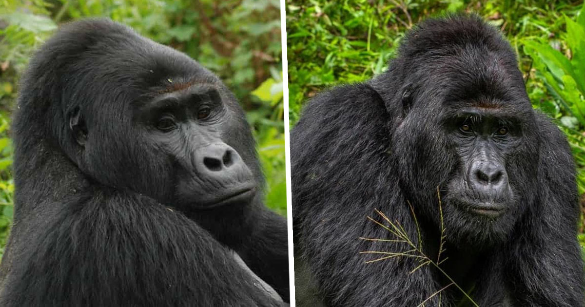 Hunter Who Killed Rare Gorilla Rafiki Jailed For 11 Years In ...