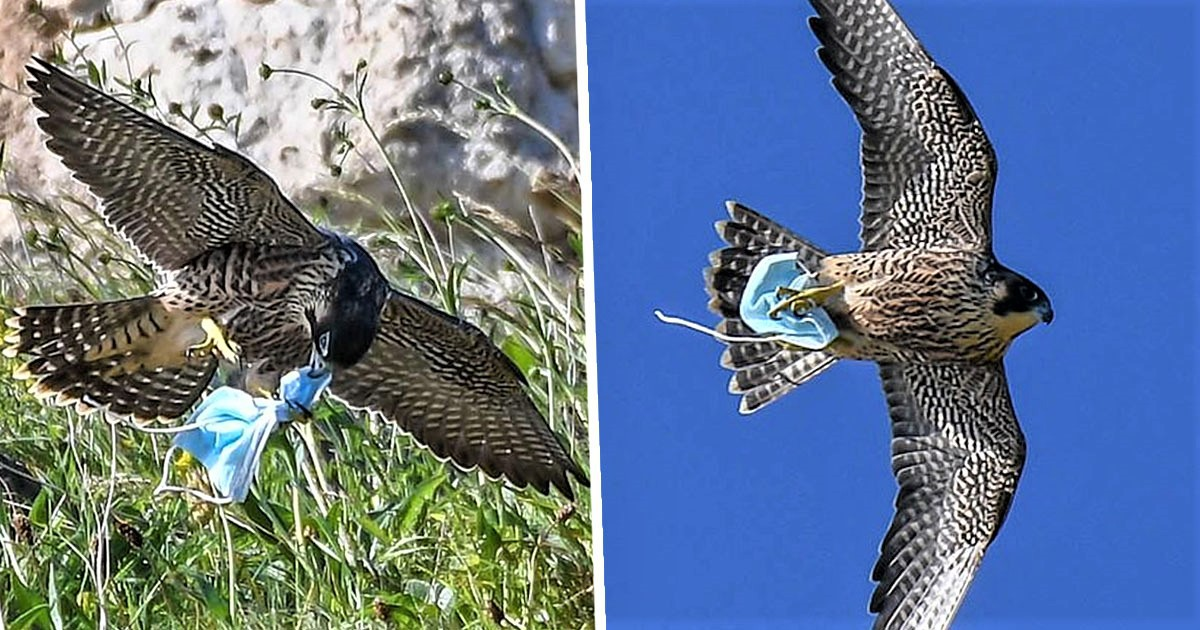 Falcon Catches Discarded Face Mask Before Flying Off With It Tangled In Talons
