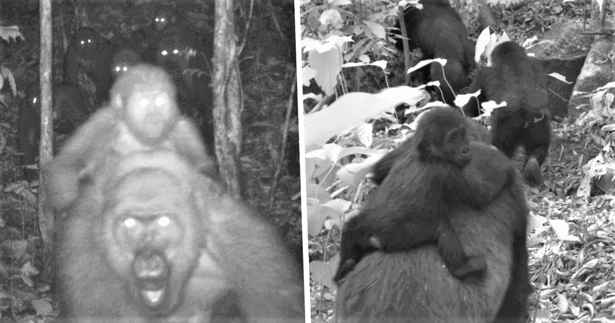 Rare Great Apes On Brink Of Extinction Photographed With Babies For First Time