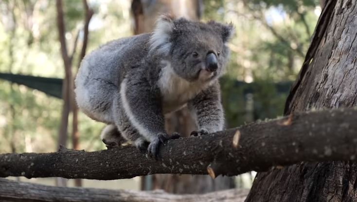 koalas return home after bushfires