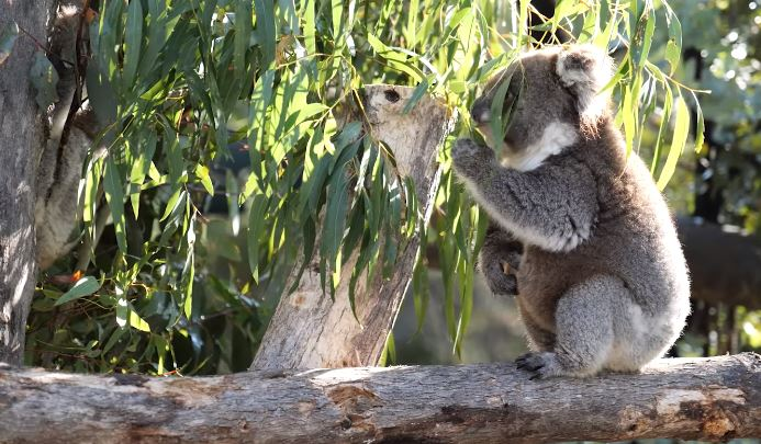 koalas return home