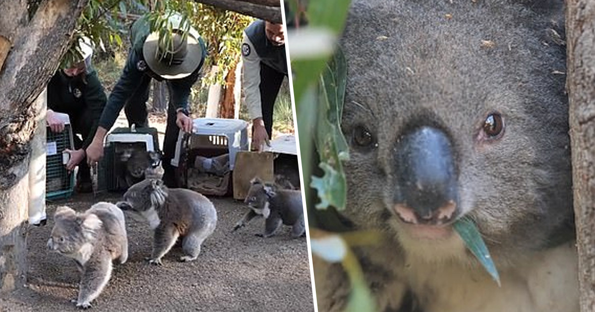 Five Koalas Returned Home For First Time Since Devastating Australian Bushfires
